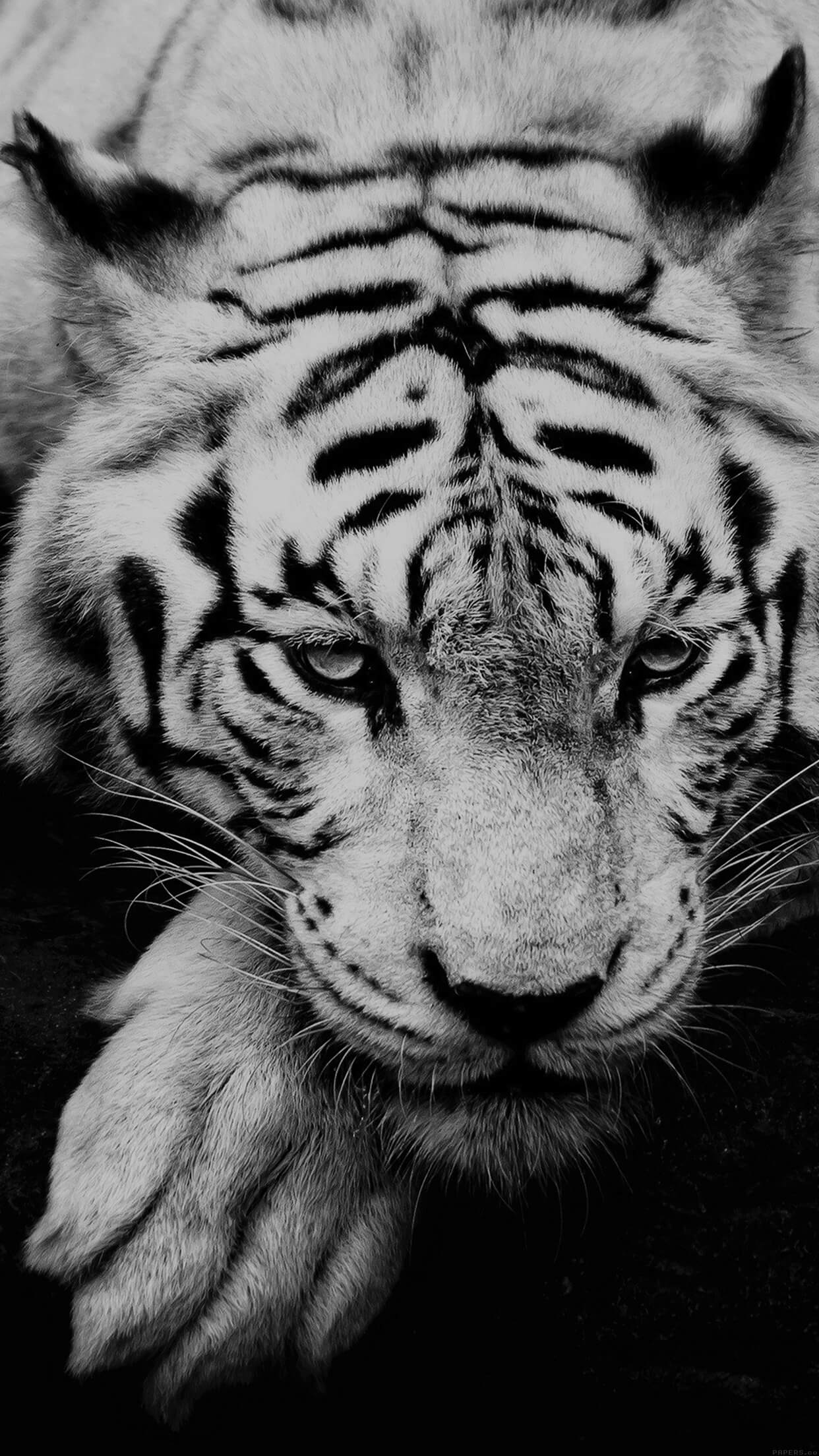 tigre blanc siberie iphone 7 plus hd wallpaper